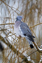 Wood pigeon columba palumbus single bird on branch west midlands december Stock Image