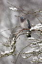 Wood pigeon columba palumbus single bird sitting on snow covered branch gloucestershire uk january Stock Photography