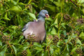 Wood pigeon eating ivy berry close up of a amongst berries Royalty Free Stock Images