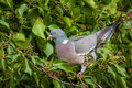 Wood pigeon in ivy close up of a perched Royalty Free Stock Photo