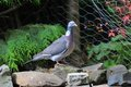 Wood pigeon one of a pair of pigeons that live in a tree at the bottom of my garden Stock Photos