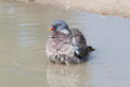 Wood pigeon palumbus taking a bath in a pond columba Stock Images