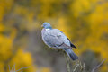 Wood pigeon perched columba palumbus on dead twigs with blurred natural background of flowering gorse uk Stock Photo