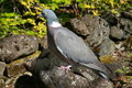 Wood Pigeon, Scotland Stock Photo