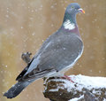 Wood pigeon at wintertime common perched looking for food in the Royalty Free Stock Photo