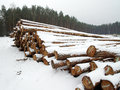 Wood pile in winter forest covered with snow Royalty Free Stock Photo