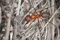 Wood red big ant close up Royalty Free Stock Photography