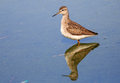 Wood sandpiper in the lake waiting for a prey Stock Photos