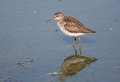 Wood sandpiper in the lake waiting for a prey Stock Image