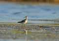 Wood sandpiper at pa poda a protected area is very good place to observe waders in migration time Royalty Free Stock Image