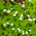Wood sorrel Stock Image