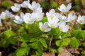 Wood Sorrel Royalty Free Stock Images