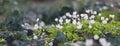 Wood sorrel common oxalis acetosella Stock Images