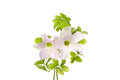 Wood sorrel delicate flowers and leaves of oxalis acelosella isolated against white Royalty Free Stock Image