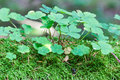 Wood sorrel in the forest Stock Photo