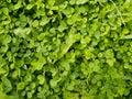 Wood sorrel or Oxalis acetosella L. Royalty Free Stock Photo