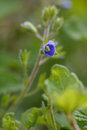 Wood speedwell (Veronica montana) Royalty Free Stock Photo