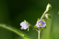 Wood speedwell & x28;Veronica montana& x29; in flower Royalty Free Stock Photo