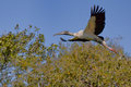 A wood stork in flight the wild Royalty Free Stock Image