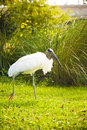 Wood Stork in Grass Stock Photo
