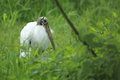 Wood stork the in the grass Stock Images