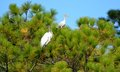 Wood stork and ibis bird in leafy trees on mash lands of florida u s a Royalty Free Stock Photo