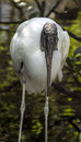 Wood Stork (Mycteria americana) Stock Photography