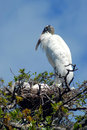 Wood stork on nest with chicks in tree blue sky background Royalty Free Stock Images