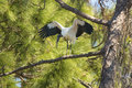 Wood stork perched in a pine tree in central Florida. Royalty Free Stock Photo