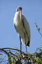 Wood stork perched in a tree in central Florida. Royalty Free Stock Photo