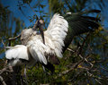 Wood stork preening on branch in st augustine s alligator farm Royalty Free Stock Image