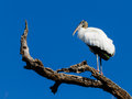 A Wood Stork Sits on a Tree Limb. Stock Photo