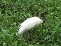 Wood Stork Standing in the Grassy Swamp