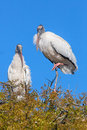 Wood Stork in Tree Royalty Free Stock Photo