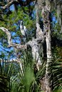 Wood stork in tree at marshlands in Florida Royalty Free Stock Photo