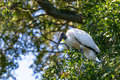 Wood Stork in a Tree Royalty Free Stock Photo