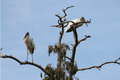 Wood storks on the tree Royalty Free Stock Photo