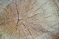 Wood texture cut tree trunk Royalty Free Stock Photo