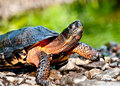 Wood turtle a crawling out of the water on river stones Royalty Free Stock Photos
