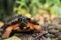 Wood Turtle Royalty Free Stock Photo