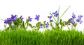 Violets flowers in grass isolated Royalty Free Stock Photo