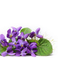 Wood violets flowers wiolets close up with white background Royalty Free Stock Images