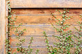 Wood wall covery by ivy plant grunge and scratch old of old house covered background Royalty Free Stock Photography