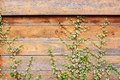 Wood wall covery by ivy plant grunge and scratch old of old house covered background Stock Photos