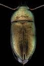 Woodboring beetle Royalty Free Stock Photo