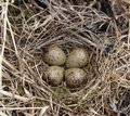 Woodcock s nest and eggs that was found on sakhalin island Royalty Free Stock Photos