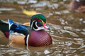 Woodduck Royalty Free Stock Photos