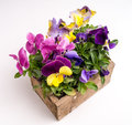 Wooden Box full of Field Grown Pansies Royalty Free Stock Images
