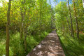 Wooden bridge walkway through aspen forest Stock Photo
