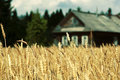 Wooden cottage house in fields golden Royalty Free Stock Photos